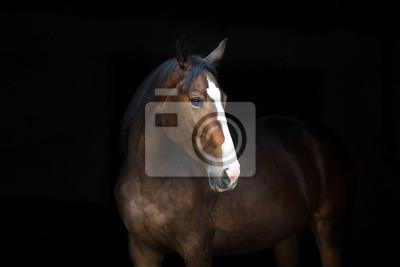 Horse portrait isolated  on black background