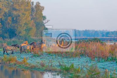 Wall mural Horses in a field in wetland in sunlight at sunrise in autumn