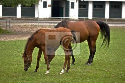 horses in Janow