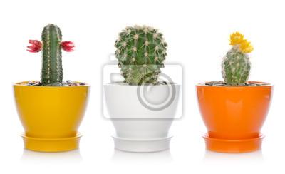 house flowers, cactuses