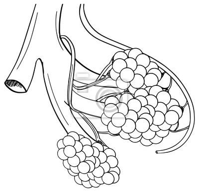 Human alveoli