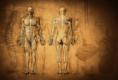 Wall mural human anatomy drawing, old, canvas