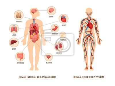 Wall mural Human body anatomy infographic of structure of human organs