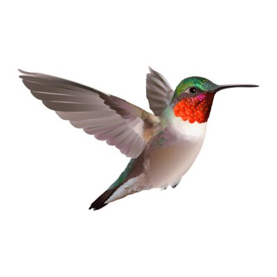 Wall mural Hummingbird - Colubris archilocus. Hand drawn vector illustration on white background of a flying  Ruby-troathed  hummingbird with colorful glossy plumage.