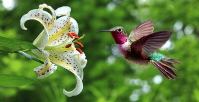 Wall mural Hummingbird hovering next to lily flowers panoramic view