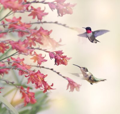 Wall mural Hummingbirds and Red Flowers