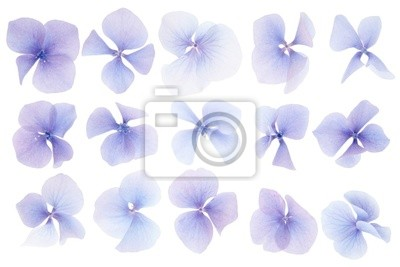 Wall mural Hydrangea flower collection on white background