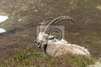 Ibex Laughing