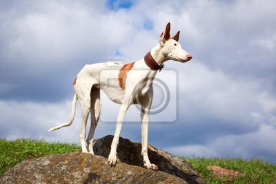 Wall mural Ibizan Hound dog