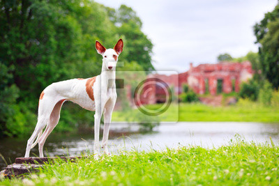 Wall mural Ibizan Hound dog
