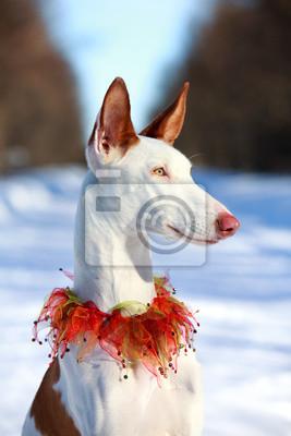 Wall mural Ibizan Hound dog in winter