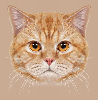 Wall mural Illustration of Portrait British short hair Cat. Cute orange Domestic cat with copper eyes.