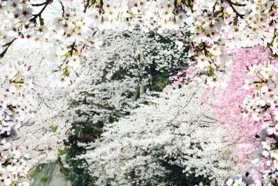 Wall mural Image of beautiful sakura seasnon in Kyoto, Japan