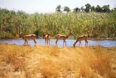 Wall mural Impala, Aepyceros melampus, Bwabwata National Park, Namibia