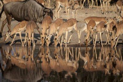 Wall mural Impala (Aepyceros melampus)  del Timbavati Nature Reserve in Sud Africa