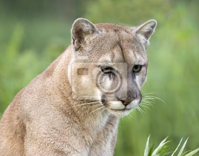 Intense cougar stare