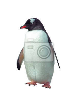 Wall mural Isolated gentoo penguin