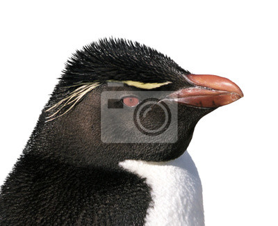 Wall mural Isolated rockhopper penguin