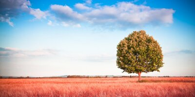 Wall mural Isolated tree in a tuscany wheatfield - (Tuscany - Italy) - Toned image with copy space