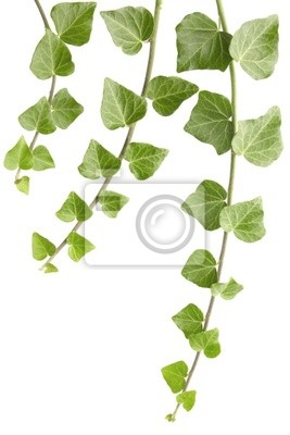 Wall mural ivy