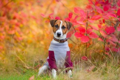 Jack russel close up portrait in red and orange leaves in park