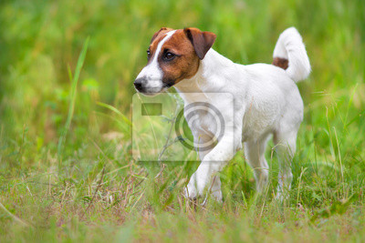 Jack russel terrier close up portrait in grass