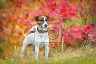 Jack russel terrier in autumn park