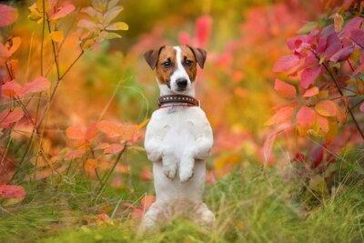 Jack russel terrier portrait in autumn forest