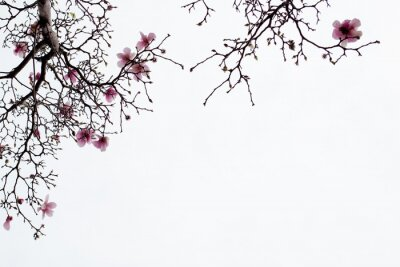 Wall mural Japanese Magnolia Blossoms on White Background