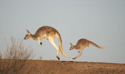 Wall mural  kangaroos in Sturt National Park,New South Wales, Australia