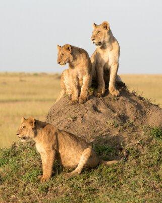 Wall mural Kenya, Africa, Masai Mara reserve ,female lion with cubs.