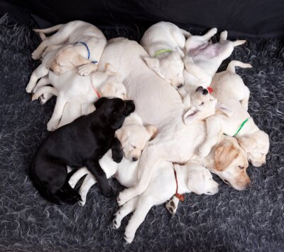 Wall mural  Labrador puppys sleeping with his mother