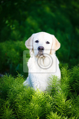 Wall mural labrador retriever dog