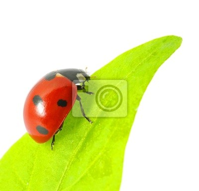 Wall mural ladybug