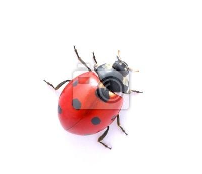 Wall mural Ladybug  on  white