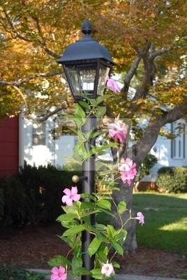 lamp post with mandevilla