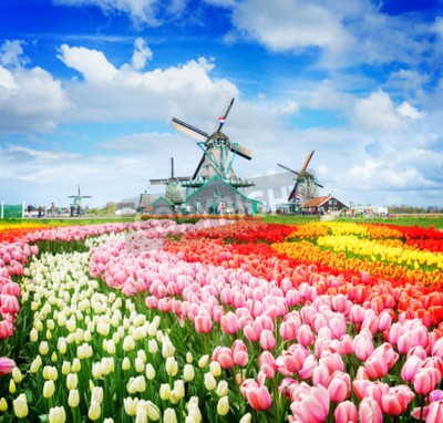 Wall mural landscape with traditional Dutch windmills of Zaanse Schans and rows of tulips, Netherlands, retro toned
