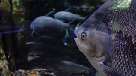 Wall mural Large fishes swimming in a large aquarium. Large sea fish swim in an aquarium. Aquarium with a large variety of fish