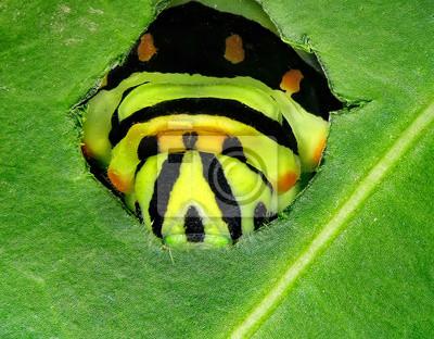 Larva damaging a leaf