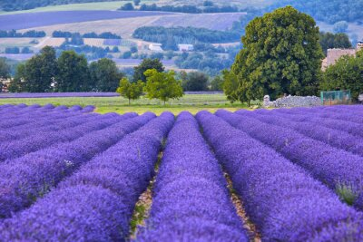 Wall mural Lavander fields in Provence