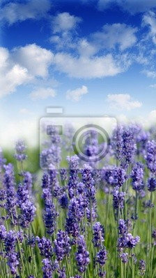 lavender field on sunny day