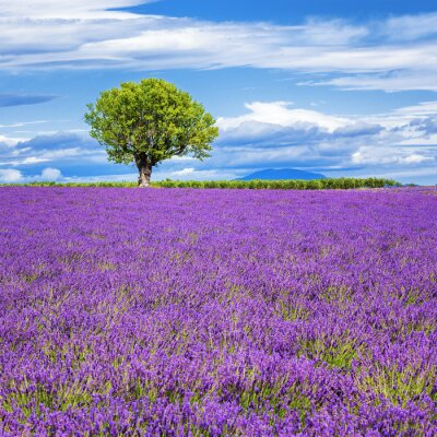 Wall mural Lavender field with tree