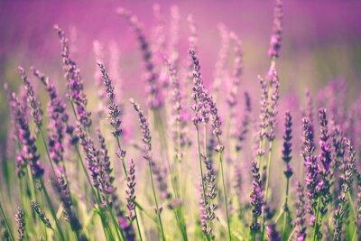 Wall mural Lavender flower
