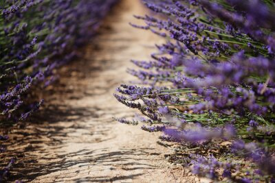 Wall mural Lavender flower blooming fields in Provence, France