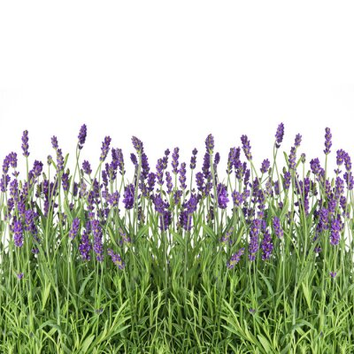 Wall mural lavender flowers isolated on white