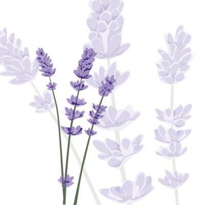 Wall mural Lavender on isolated background, vector
