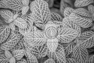 leaves close up in black and white