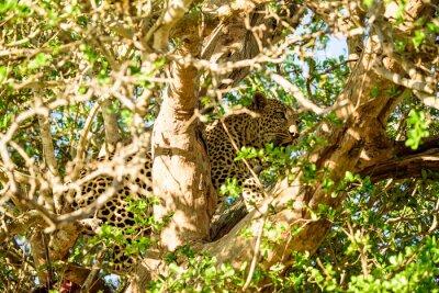 Wall mural Leopard hiding in a tree