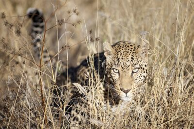 Wall mural Leopard moving through the bushveld
