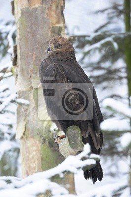 Lesser Spotted Eagle in winter